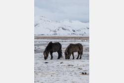 Isländische Ponys im Winter