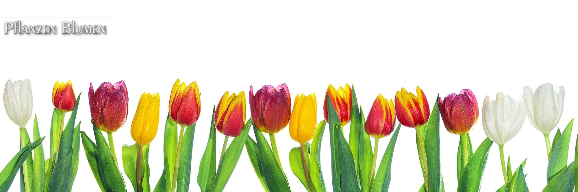 FineArt & Panoramafotografien von Blumen für Küchenrückwände